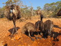 Emus australia in the outback Royalty Free Stock Photography