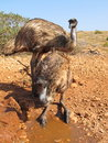 Emus australia in the outback Royalty Free Stock Image