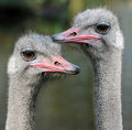 Emus funny looking ostriches in a bird park in netherlands Stock Photos