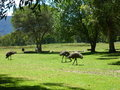 Emus a photo of feeding outside a camping ground in the grampians victoria australia Stock Photo