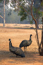 Emus resting in shade to avoid the summer heat Royalty Free Stock Image