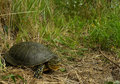 Emys orbicularis - European Pond Turtle Stock Photography