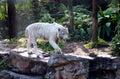 En el vagabundeo - tigre blanco Fotos de archivo