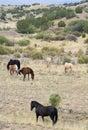 En mustangflock som är bekanta som löst eller feral horses Arkivbild