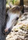 En nyfikna pony hiding bak ett träd Royaltyfri Foto