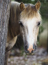 En pony hiding behind ett träd Fotografering för Bildbyråer
