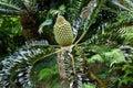 Encephalartos latifrons Royalty Free Stock Photo