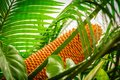 Encephalartos laurentianus shrub. Subtropical cycad evergreen palm like plant with red cones. Cycas Royalty Free Stock Photo