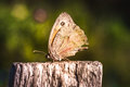 Enchanting big red butterfly with eyes on wings called inachis io Royalty Free Stock Photo