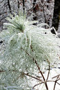 Encrusted needles loblolly pine pinus taeda after freezing ra rain Stock Photo