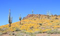 At the end of march brittlebush shrubs are in full bloom in the sonoran desert prickly pear buckhorn cholla and saguaro cacti Royalty Free Stock Photo
