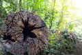 End of rotten log in tropical forest Stock Photography