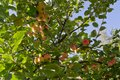 In the end of summer - apples are ready Royalty Free Stock Photo