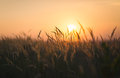 End of summer atmosphere dried weeds in backlight shallow depth field sunset Royalty Free Stock Photos