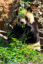 Endangered animal  Giant Panda Royalty Free Stock Photography