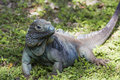 Endangered BLue Iguana Royalty Free Stock Photo