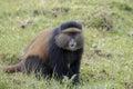 Endangered golden monkey adult, Volcanoes National Park, Rwanda Royalty Free Stock Photo