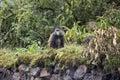 Endangered golden monkey on buffalo wall, Volcanoes National Par Royalty Free Stock Photo