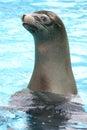 Endangered Hawaiian Monk Seal at Attention Royalty Free Stock Photo