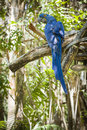 The endangered hyacinth macaw of south america in jungle Royalty Free Stock Image