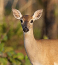 Endangered Key Deer Royalty Free Stock Photos