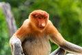 Endangered proboscis monkey in the mangrove forest of borneo sabah Stock Image