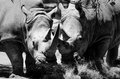 Endangered rhinos an image of two Stock Image