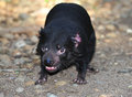 Endangered tasmanian devil Royalty Free Stock Images