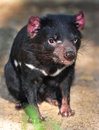 Endangered tasmanian devil Royalty Free Stock Photo
