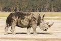 Endangered white rhino Royalty Free Stock Photo