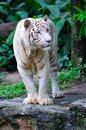 Endangered white tiger Royalty Free Stock Photography
