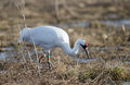 Endangered whooping crane an foraging for food in a field at goose pond fish and wildlife area near linton indiana Royalty Free Stock Photos