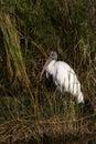 Endangered Wood Stork Royalty Free Stock Photo