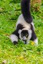 Endemic Black-and-white ruffed lemur (Varecia variegata subcinct Royalty Free Stock Photo