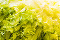 Endive background close up shot of a green and yellow as a Stock Images