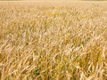 Endles yellow beautifull wheatfield in summer the Royalty Free Stock Images