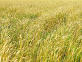 Endles yellow beautifull wheatfield in summer the Stock Photos