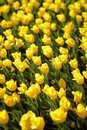 Endless bed of yellow tulips. Royalty Free Stock Photo