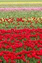 Nekonečný farbistý tulipány tapeta na plochu