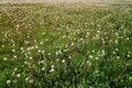 Endless dandelion field in sunset light Royalty Free Stock Photo