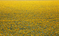Endless field with sunflowers Royalty Free Stock Photo