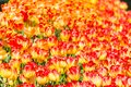 An endless field of yellow and red tulips Royalty Free Stock Photo