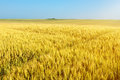 Endless rolling wheat fields at sunny day Royalty Free Stock Photo