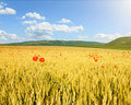 Endless rolling wheat fields at sunny day Stock Photography