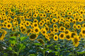 Endless sunflower field Royalty Free Stock Photo