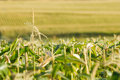 Endless view of the corn field Royalty Free Stock Photo