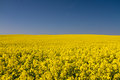 Endless yellow canola field under a blue sky Royalty Free Stock Photo
