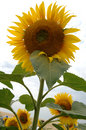 Energy sunflower Royalty Free Stock Images