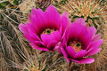 Englemann's Hedgehog Cactus Blossoms Royalty Free Stock Photo