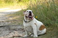 Englisg bulldog english walking on the nature Royalty Free Stock Photography